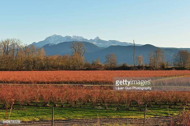 Winter Blueberry Fields and Golden Ears Mountain