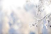 Snow covered alder tree (Alnus glutinosa) branch against defocused background.