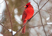 Close-up photo of cardinal perched in a tree in winter