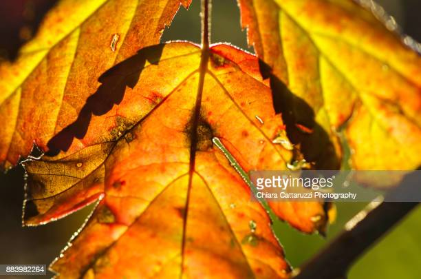 Winter colored leaves