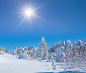winter fir forest in a snow under the sparkle sun, winter landscape