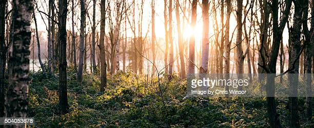 Winter forest dawn