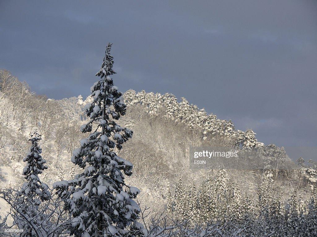 Foresta invernale in serata. : Foto stock