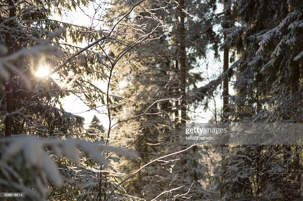 Winter Forest with Sunlight : Stock Photo