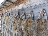 A farmer's trapped fur from pests on the farm like coyotes, beavers and skunk hang ready for sale on an old barn in Alberta Canada.