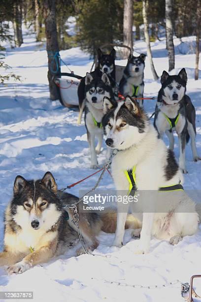 winter group of husky sleigh dogs