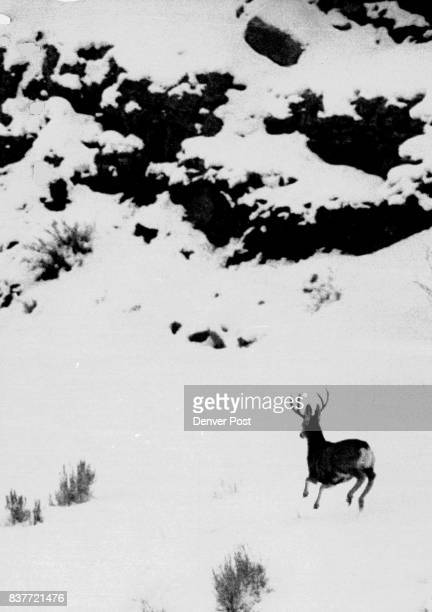 Winter has been hard on wildlife as well as livestock in Colorado this year as evidenced by this mule deer near Craig The winter which has found...
