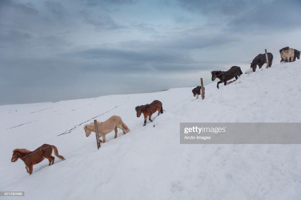 Winter, Herd of Icelandic Horses, Skagafjordur, Iceland