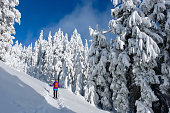 Trees covered with snow after heavy snowfall in Pacific Range Mountains. Woman snowshoeing on Whistler Mountain near Whistler Village. British Columbia. Canada.
