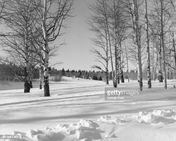 Winter in Umcompahgre Forest Quaking aspen trees standing in a blanket of snow in the Uncompahgre National forest west of Montrose Colio wait in...