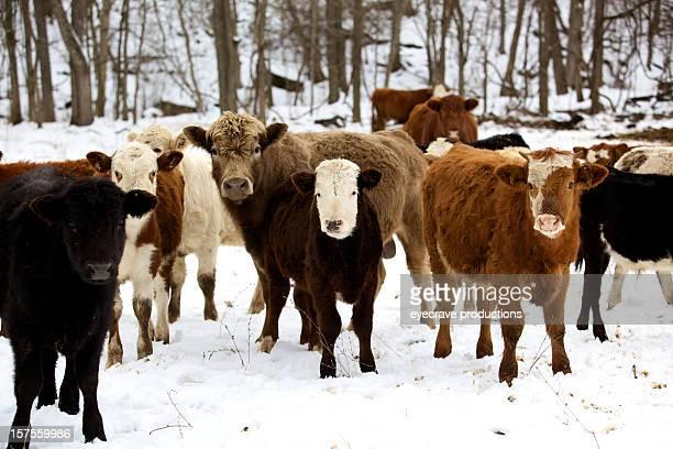 Hiver bétail bovin series