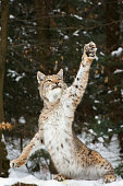 A picture from a lynx, who tries to catch some prey.