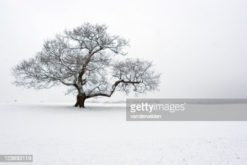 Winter Oak In The Snow