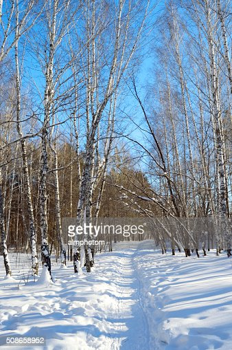 winter path among birch trees and pines : Stock Photo