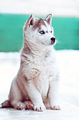 winter portrait of a cute blue-eyed husky puppy, dog against a snowy nature background