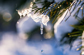 Melting icicle on a snow covered pine branch at winter forest. Snowbreak