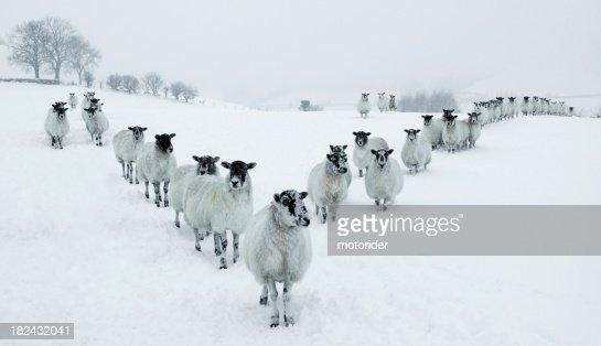 Inverno pecore V formazione
