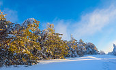 winter snowbound pine forest at the morning
