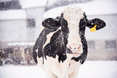 A holstein cow enjoying the snowfall