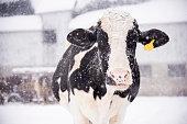 A holstein cow enjoying the snowfall