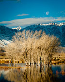 Winter sunrise and moonset over Cottonwood trees in Owens Valley pond, Eastern Sierra, California