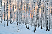Winter Sunset in the birchwood. Pink sunlight among white trunks of birch trees.