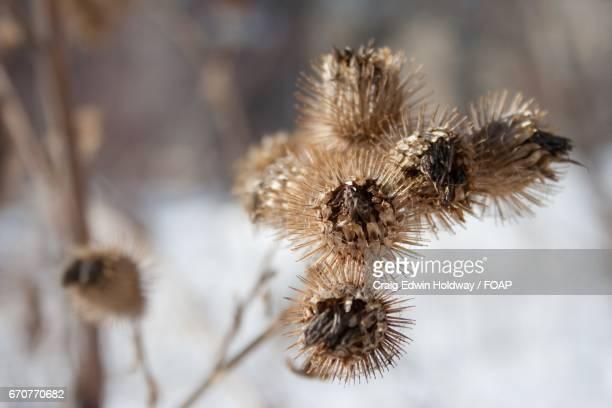 Winter thorn