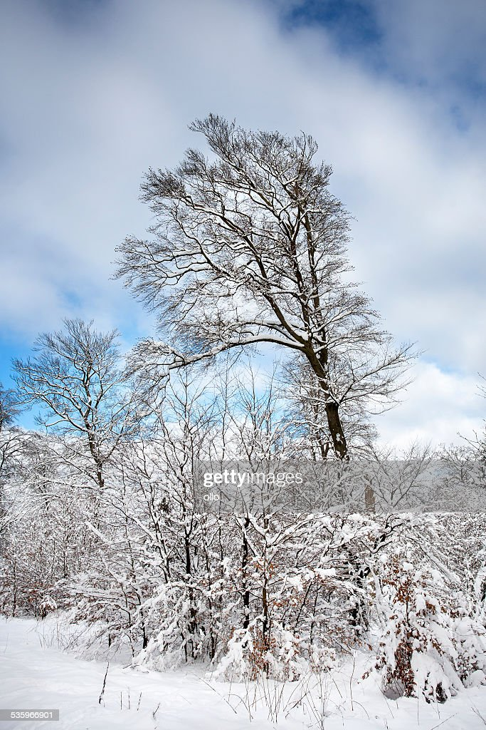 Winter trees : Stock Photo