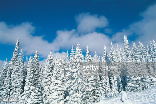 Winter trees, Steamboat, Colorado, USA
