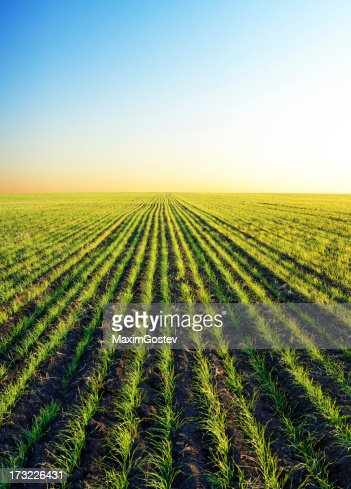 Winter wheat patches in sunset light