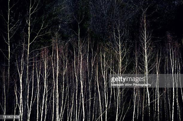 Winter white birch trees in dark forest