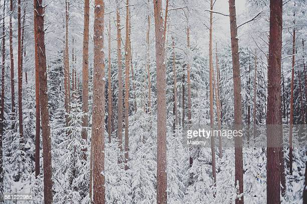 Winter wonderland. Snow-capped coniferous forest