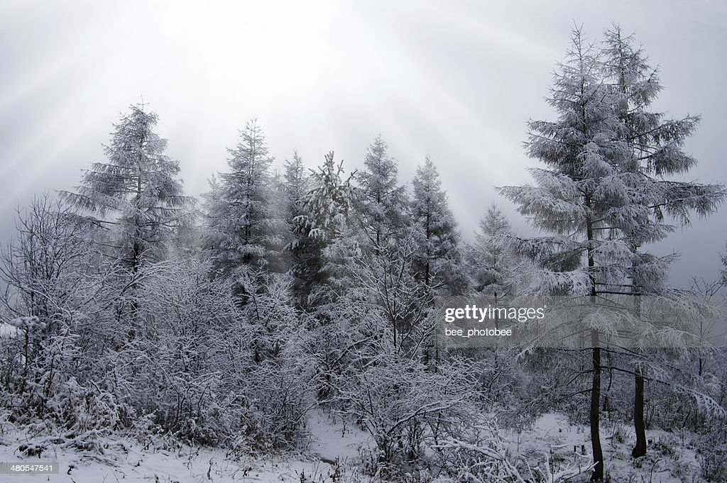 Winter wood : Stock Photo