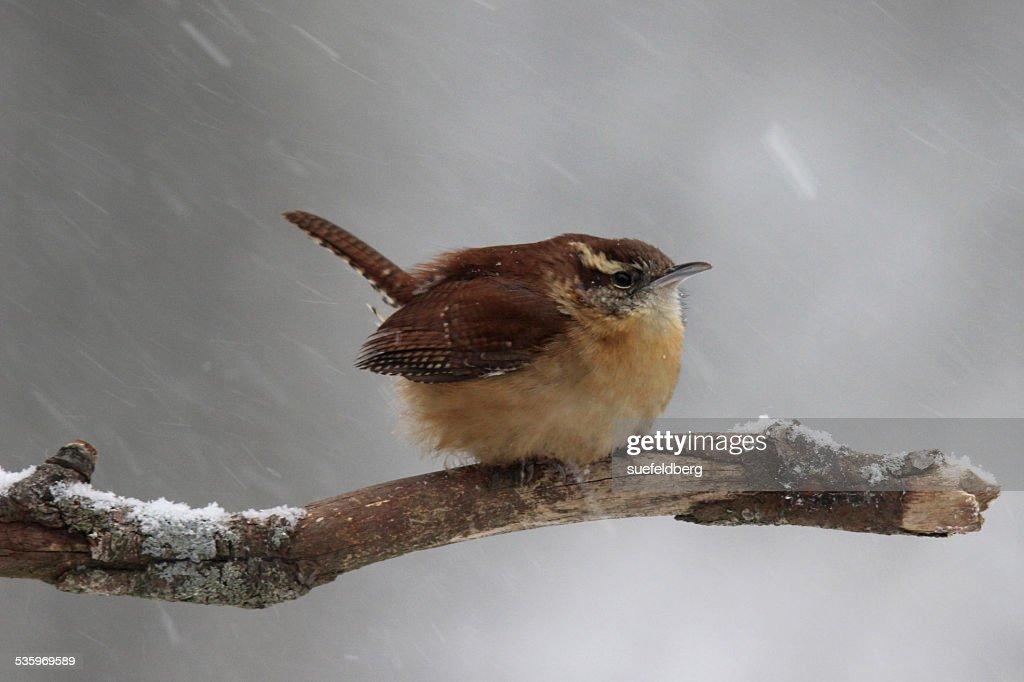 Winter Wren : Stock Photo