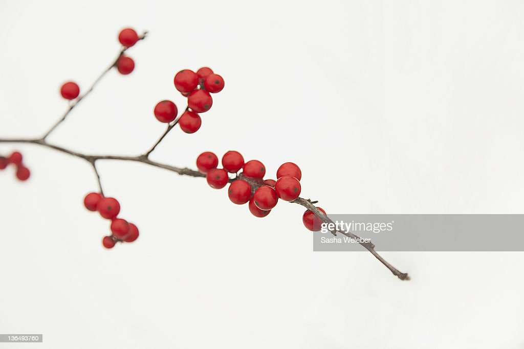 Winterberry trees