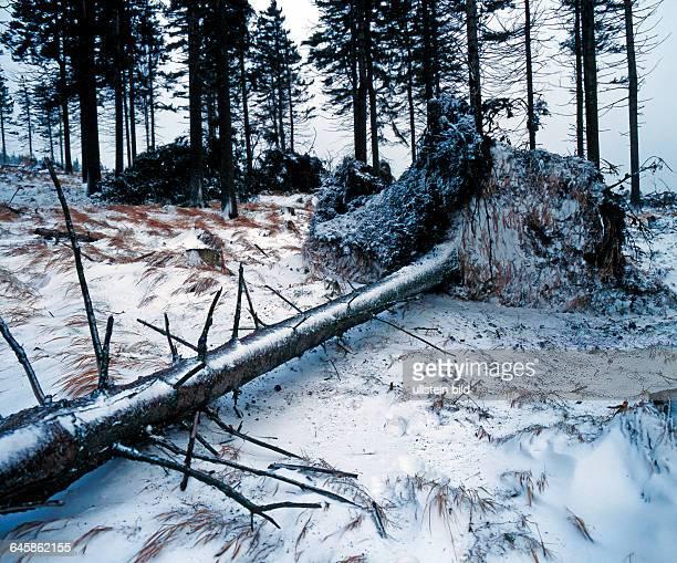 Winterliche Waldlandschaft mit umgestuerztem Nadelbaum durch Sturmschaeden