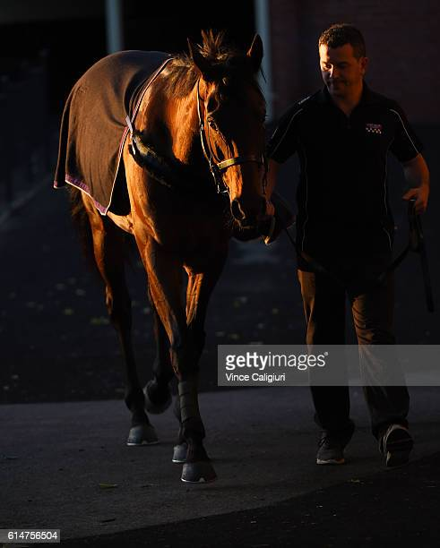 Winx is taken for a walk after a trackwork session at Moonee Valley Racecourse on October 15 2016 in Melbourne Australia Winx is the short price...