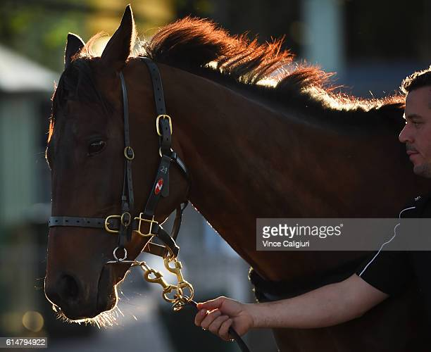 Winx is walked after trackwork at Moonee Valley Racecourse on October 15 2016 in Melbourne Australia Winx is the short price favourite for next weeks...