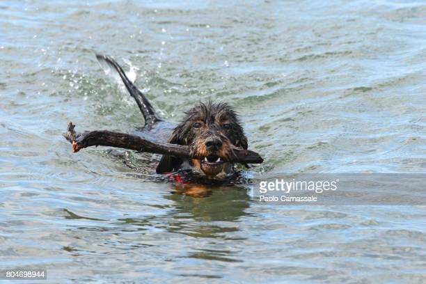 Wire-haired dachshund carrying stick in mouth while swimming in water, Italy