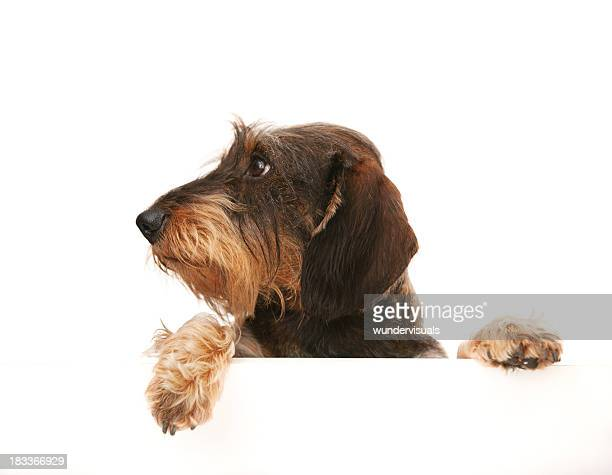 wire-haired dachshund looking away at copy space
