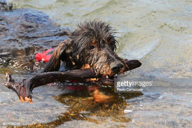 Wire-haired dachshund swimming in water sea carrying stick in mouth, Italy