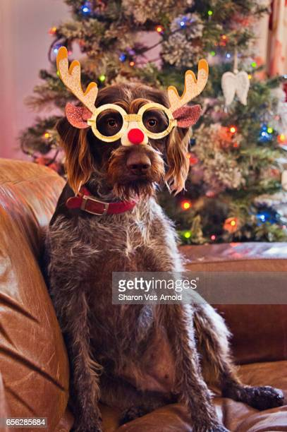 Wirehaired German Pointer Dog wearing novelty Christmas glasses