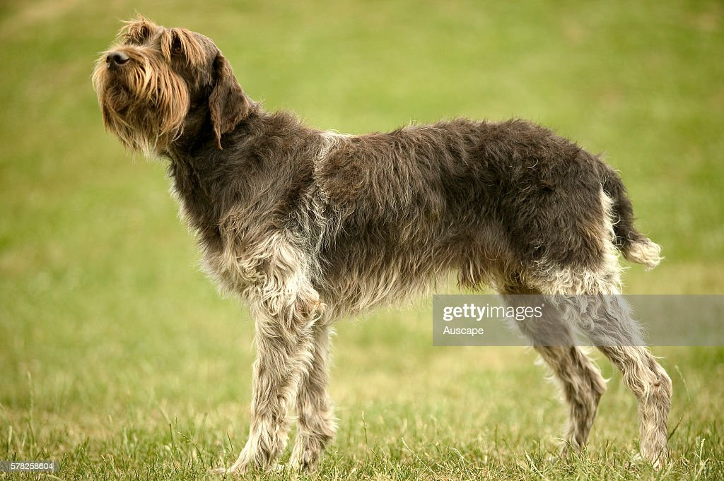 Wirehaired pointing griffon Canis familiaris standing outdoors This breed was developed by Dutchman Eduard Karel Korthals for hunting and retrieving...