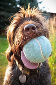 wire-haired pointing Griffon with large tennis bal
