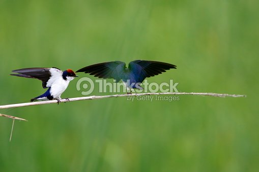 Wire Tailed Swallow Stock Photo