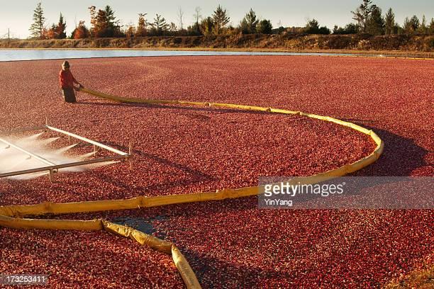 Wisconsin Cranberry Farm Field Crop with Farmer Harvesting in Bog