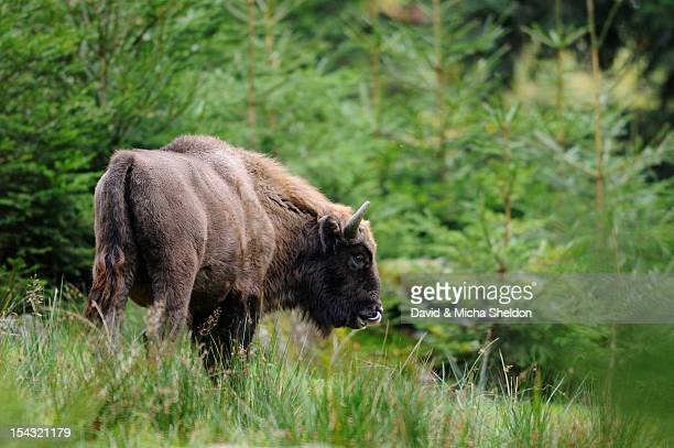 Wisent (Bison bonasus) in the woods