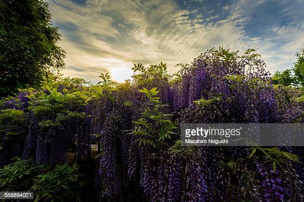 Wisteria flowers before sunset