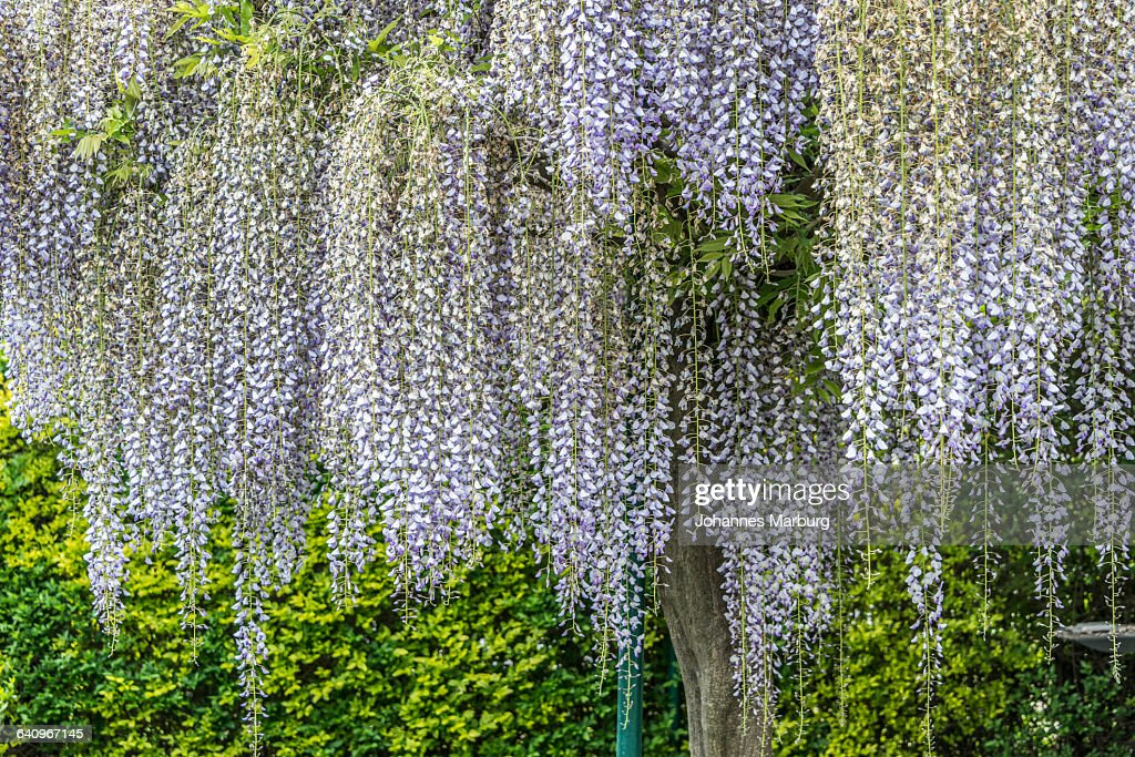 Wisteria flowers growing on tree at park
