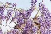 Wisteria sinensis, Beautiful flowers of purple Wisteria sinensis blooming and blossom tree with blue sky background close up selective focus